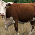 КФХ Закупает крупный рогатый скот