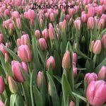 Продаю тюльпаны