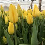 Тюльпан Strong Gold (Стронг Голд) желтый