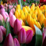 Тюльпаны реализуем оптом к 8 Марта