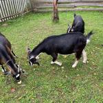 Продаются камерунские козы