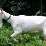 Высокоудойная зааненская коза и козленок
