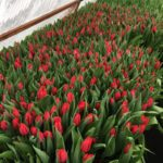 Тюльпаны выгодно оптом и в розницу в Минске