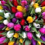 Оптом тюльпаны Экстра класса от производителя.