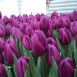Свежесрезанные тюльпаны Экстра класса к 8 Марта