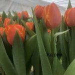 Роскошные Тюльпаны оптовые заказы