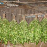 Веники деревенские для Бани