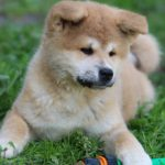 (Акита-ину) высокопородные щенки из питомника, продаются