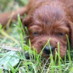 Ирландский красный сеттер,высокопородные щенки, продам