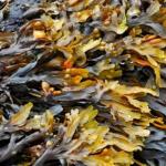Купить водоросли фукус микронизированные 1кг