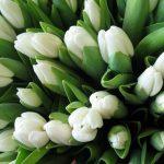 Тюльпан оптом к 8 марта примула, крокус.