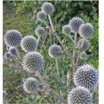 Мордовник шароголовый - медоносное и лекарственное растение