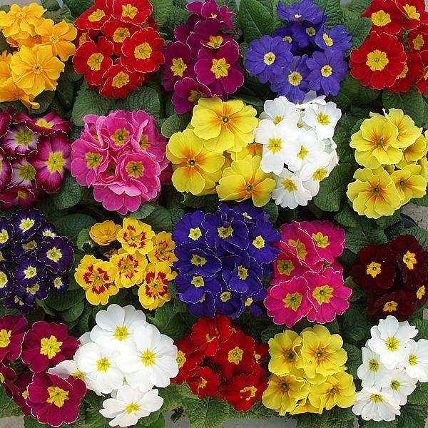 Цветы к 8 марта, крокусы, гиацинты, примула, нарциссы оптом.